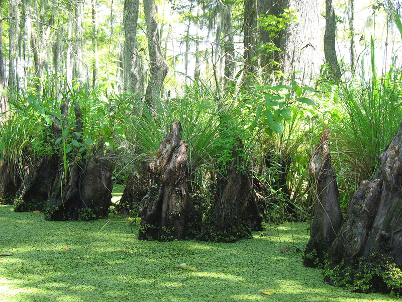"Cypress tree ""knees"" - part of their root system."