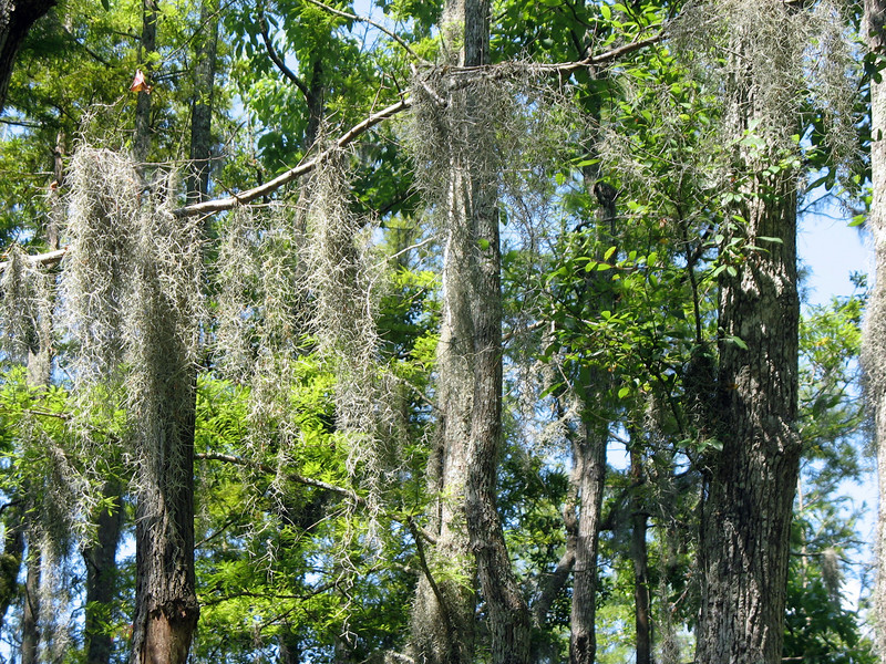 Spanish Moss hanging from the trees.