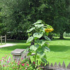 Sunflower with huge Pecan tree in the background