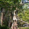 The Louisiana Cypress is a variety known as Bald Cypress. They take 200 years to mature.