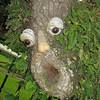 Face in an oak tree.