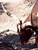 Type of longhorn