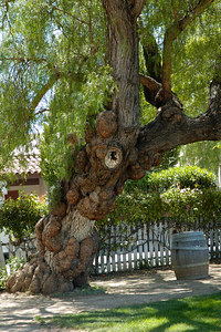 Tree on the San Juan Bautista Plaza