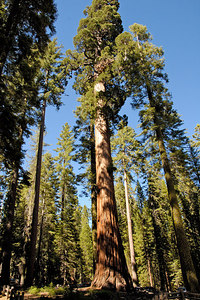 Giant Sequoia in Mariposa Grove Yosemite National Park