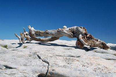 Famous Jeffery Pine tree on Sentinel Dome