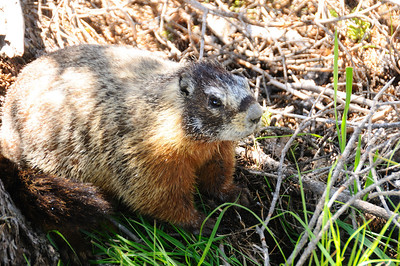 A friendly Marmot