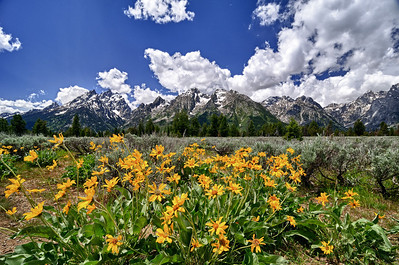 Balsamroot and the Tetons