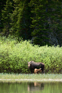 The moose and her calf