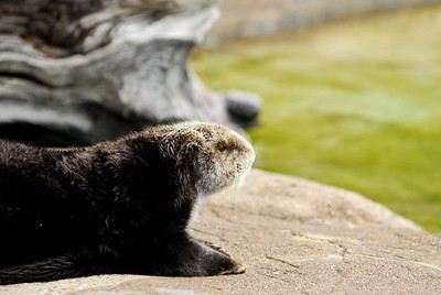 Otter catching some sun