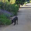 Loki taking a stroll in the gardens at Jacksonville Vineyards