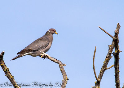 Band-Tailed Pigeon-2