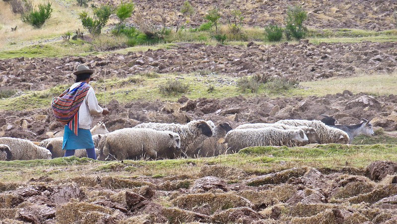 304 Sheep