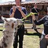 448 Sandra Feeding Alpaca