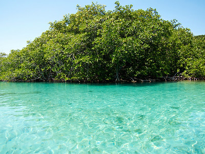 Mangroves in Roatan