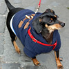 A miniature dachshund in his winter coat.