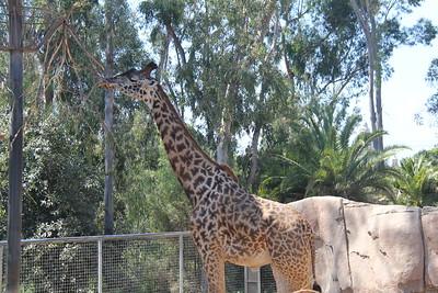 20170807-018 - San Diego Zoo - Giraffe