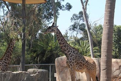 20170807-016 - San Diego Zoo - Giraffe