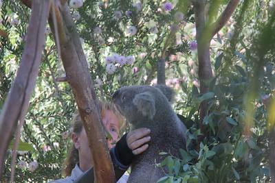 20170807-024 - San Diego Zoo - Koala
