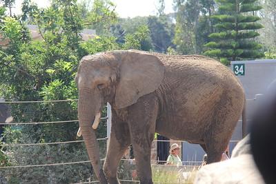 20170807-012 - San Diego Zoo - Elephant