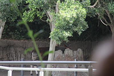 20170807-001 - San Diego Zoo - Okapi