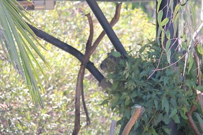 20170807-027 - San Diego Zoo - Koala