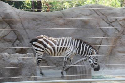 20170807-022 - San Diego Zoo - Zebra