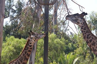 20170807-020 - San Diego Zoo - Giraffe