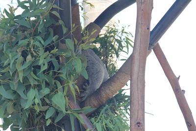 20170807-023 - San Diego Zoo - Koala
