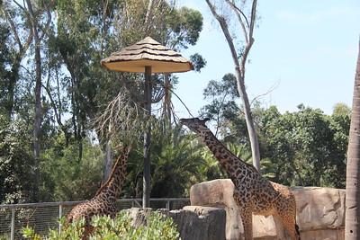20170807-015 - San Diego Zoo - Giraffe