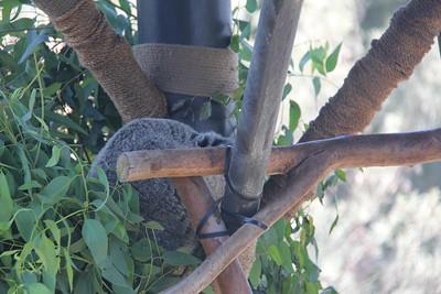 20170807-028 - San Diego Zoo - Koala
