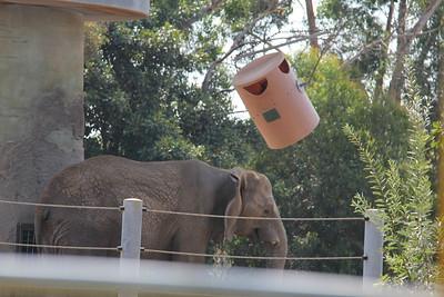 20170807-007 - San Diego Zoo - Elephant