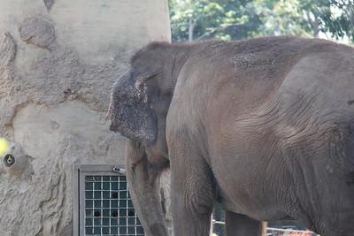 20170807-010 - San Diego Zoo - Elephant