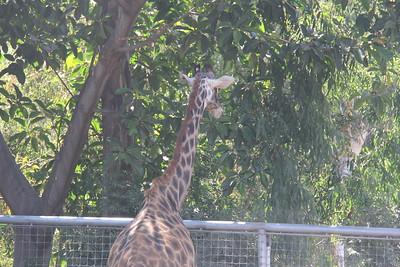 20170807-017 - San Diego Zoo - Giraffe