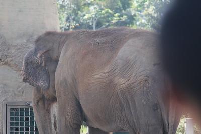 20170807-009 - San Diego Zoo - Elephant