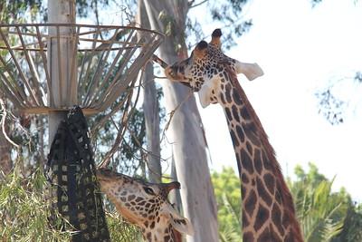 20170807-021 - San Diego Zoo - Giraffe
