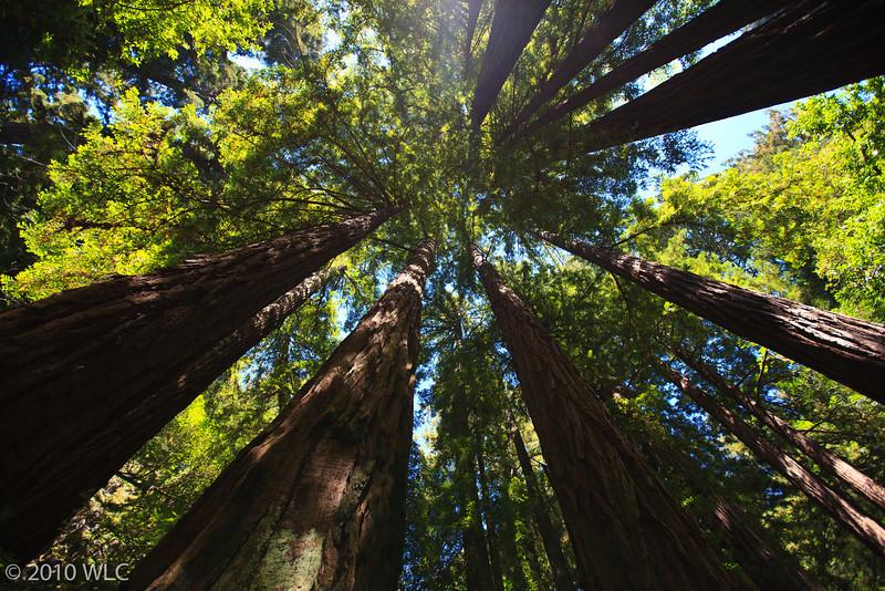 Muir Woods California Red Woods