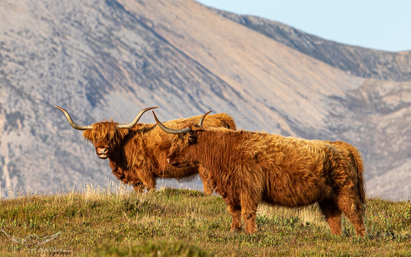 Hairy Highland Coos-3