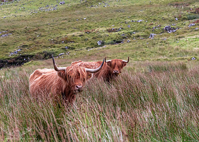 Hairy Highland Coos-2