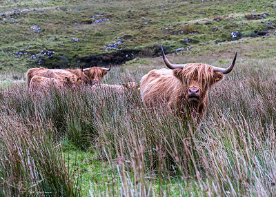 Hairy Highland Coos