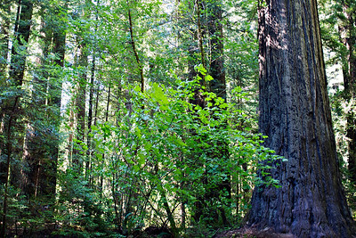 Avenue of the Giants, off the 101 before Eureka