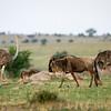 Wildebeest and ostrich.