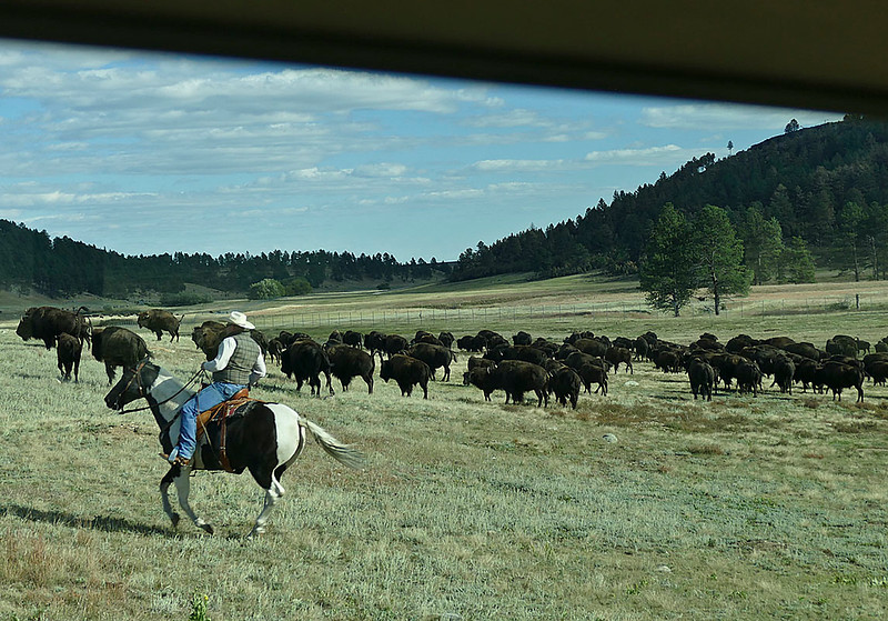 871 Bison from Bus