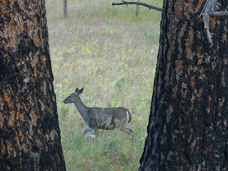 862 Deer