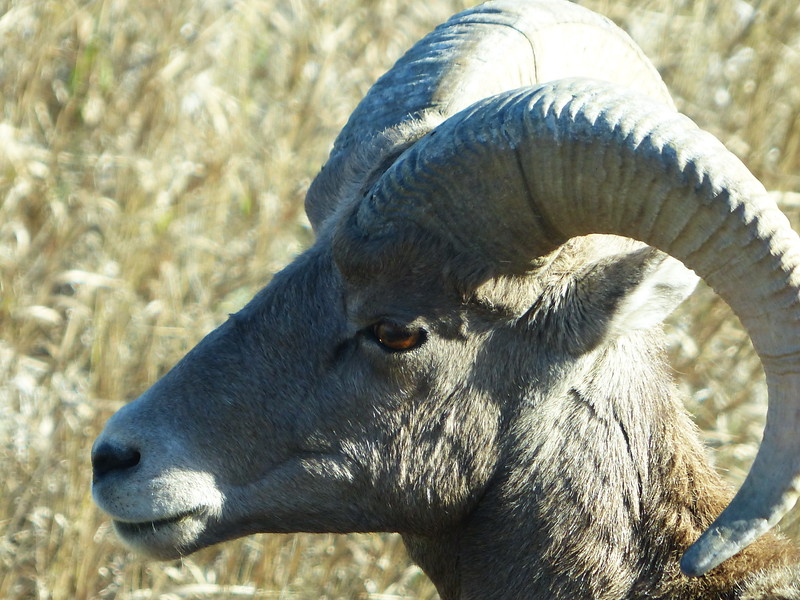 914 Long Horned Deer