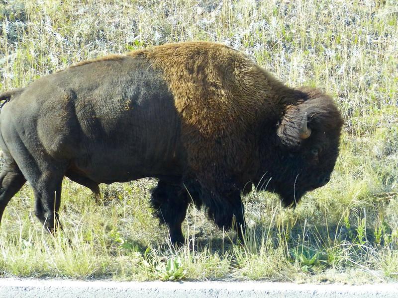 860 Bison