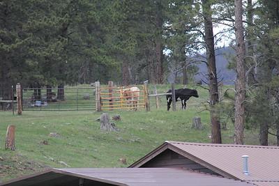 20140517-03-SouthDakota-Longhorns