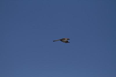 Grey go-away bird going away