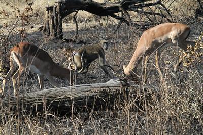 Baboon watching impalas fight