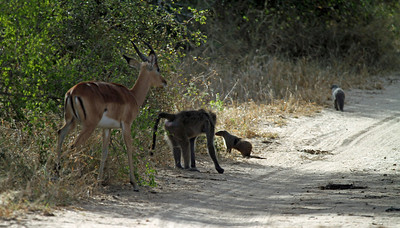 Impala, baboon & banded mongoose