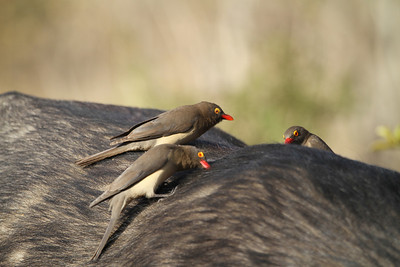 Red-billed oxpeckers feeding off buffalo